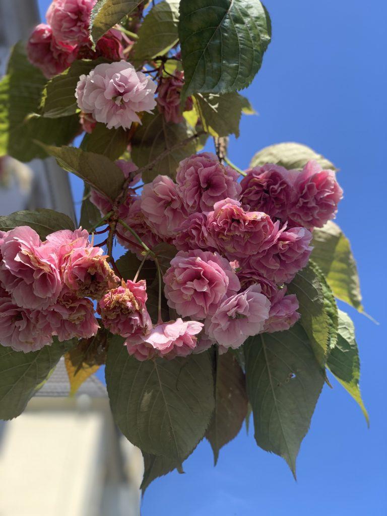 rosa Blüten vor blauem Himmel